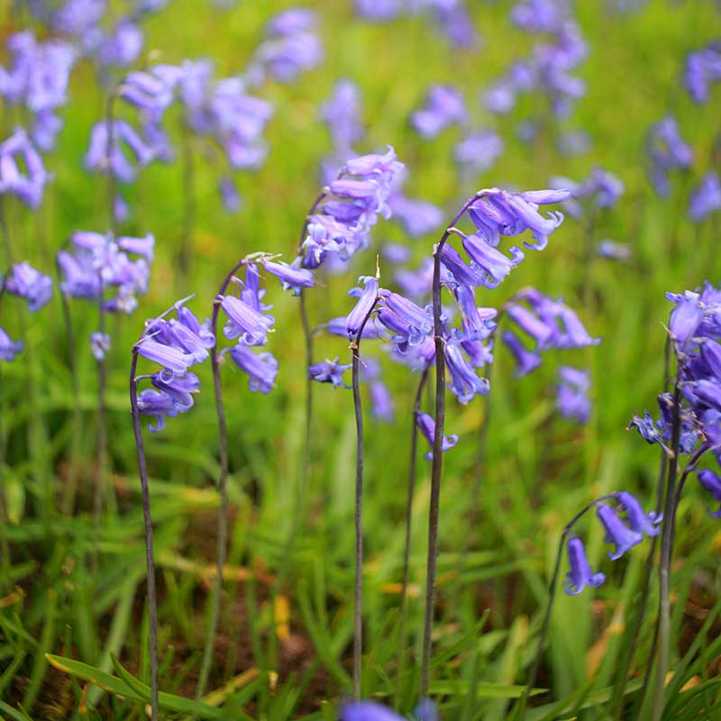 Bluebell bulbs mature in four years
